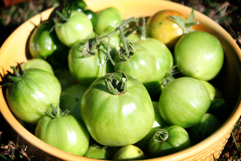 Harvesting Green Tomatoes