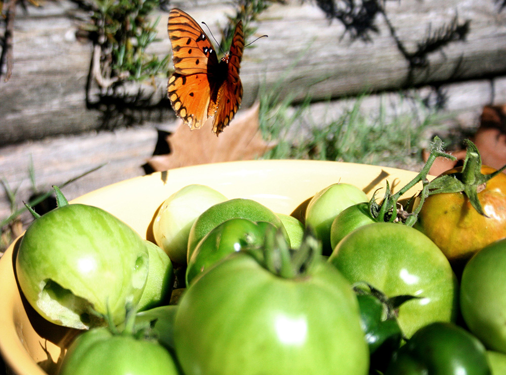 Monarch butterfly and bowl of green tomatoes