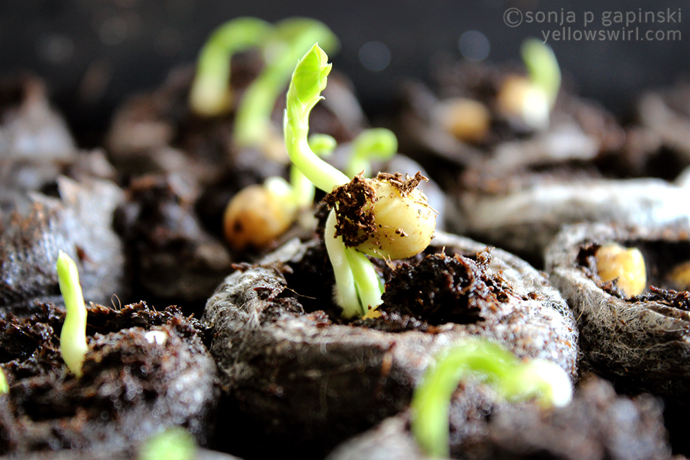 Sprouting Peas