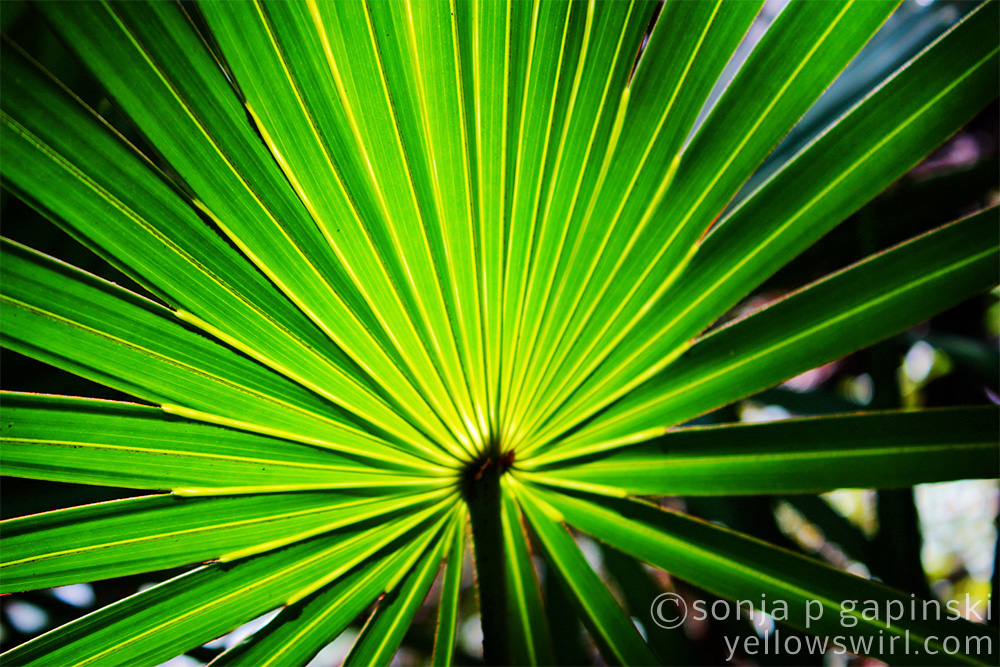 Palm Fronds Tag archives: palm fronds