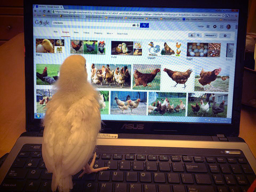 chicken-googling