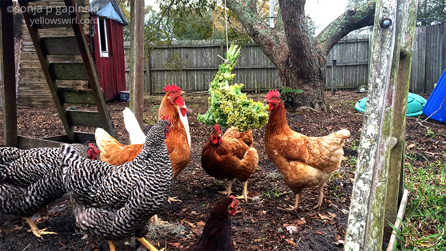 chickens and swinging kale