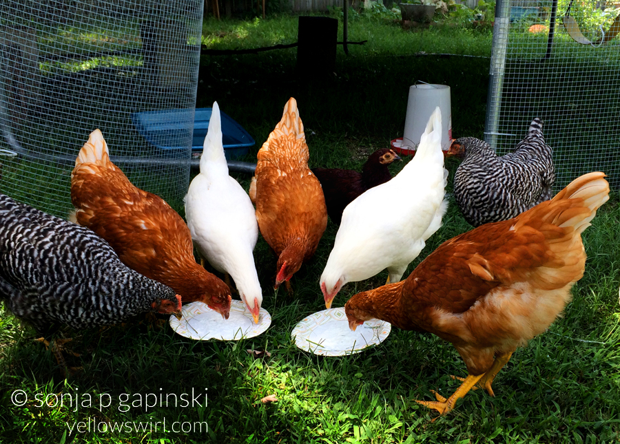 chickens-love-yogurt