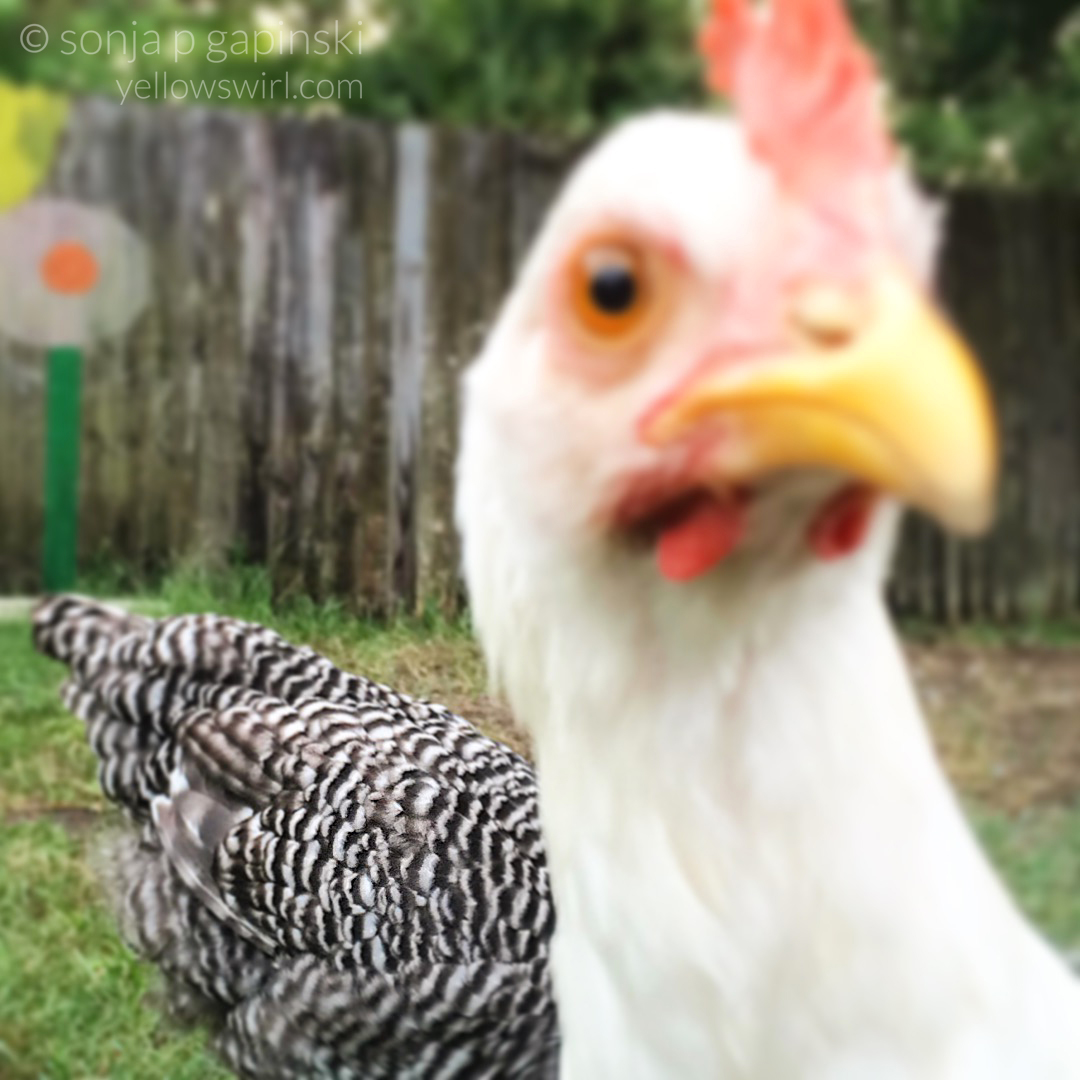 photobombing-chicken